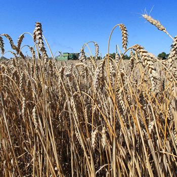 Уборка пшеницы в Калининградской области