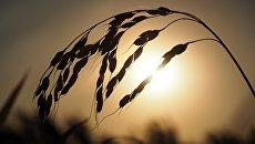 Сбор урожая риса в Краснодарском крае
