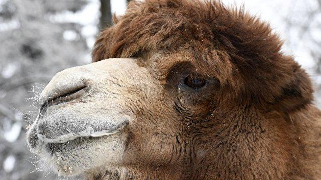 Грузинский цирк-шапито бросил наУкраине своего верблюда